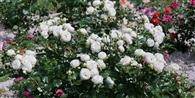 Sadzimy róże.