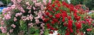 Czy róże na pniu  boją się mrozów ?