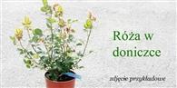Sezon sprzedaży róż w donicach rozpoczęty