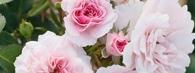 Nazwy róż