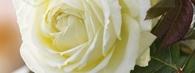 Najpiękniejsze róże do ogrodu