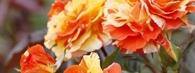 Róże - jak przycinać przed zimą?
