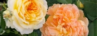 Sadzenie róż z pojemników