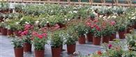 Wyprzedaż róż w donicach 4,5 L