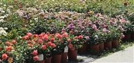 Kwitnące róże w donicach