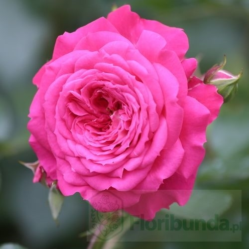 Opis kwiatu róży