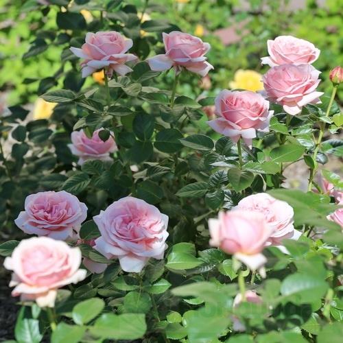 Róże sadzonki do kupienia