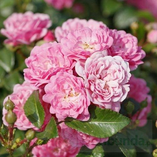 Najpiękniejsze sadzonki róż