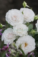 Great North Eastern Rose ( Hareasy)