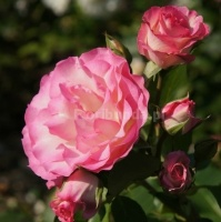 Bordure Rose (Delbara)