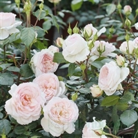 Stephanie Baronin zu Guttenberg Rose